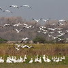 Snow and Ross's Geese at Ringneck Slough