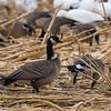 Aleutian Cackling Geese