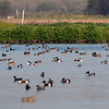 Dabbling Duck Convention