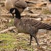 Cackling Goose - Aleutian