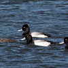 Greater Scaup and Lesser Scaup