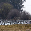 6,000 Geese