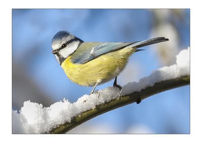 SNOW BLUE TIT