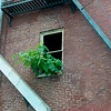 Paulonia tomentosa (princess tree) growing out of window of abandoned building.