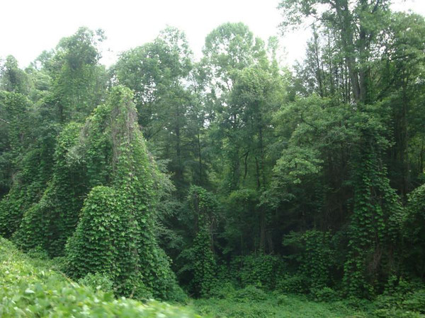 Lots of Kudzu