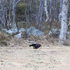 ORRHANE, ORRFUGL, BLACK GROUSE, TROMSØ, NORWAY