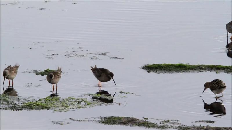Spotted Redshank and Ruff - SOTSNIPE OG BRUSHANE