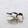 GRAVAND, SHELDUCK, TROMSØ, NORWAY