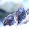 FJÆREPLYTT, PURPLE SANDPIPER, WINTER, TROMSØ, NORWAY
