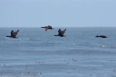 cormorants, cape town