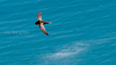 African Black Swift