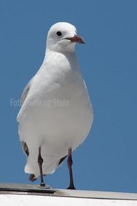 Hartlaub's gull, Chroicocephalus hartlaubii, CAPE TOWN, South Africa