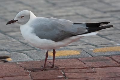 Grey-headed Gull, Chroicocephalus cirrocephalus, Cape Town, South Africa