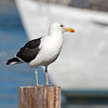 Kelp Gull Cape Town South Africa