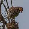 Yellow-necked spurfowl, Yellow-necked francolin (Pternistis leucoscepus)