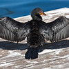 crowned cormorant cape town South Africa