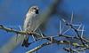 Kenya rufous sparrow, Passer rufocinctus, Kenya