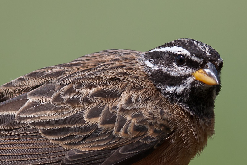 Emberiza tahapisi (Cinnamon-breasted bunting, Rock bunting) , South Africa