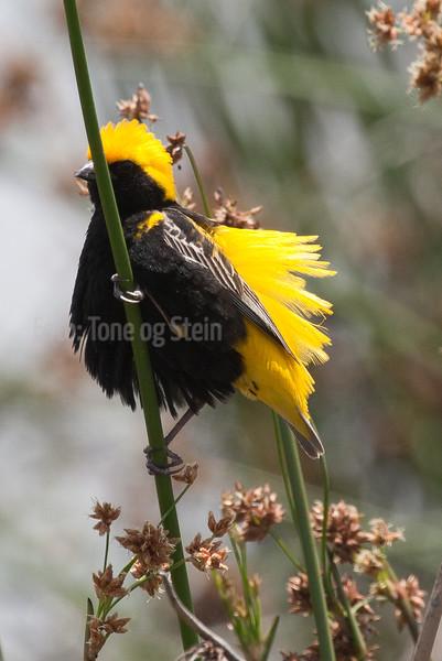 Euplectes afer (Yellow-crowned bishop, Golden bishop) Johannesburg SA