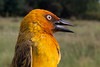 Ploceus ocularis (Spectacled weaver) Juvenile ? Johannesburg SA
