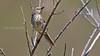 Karoo Prinia Prinia maculosa, cape town, lions head, warbler,