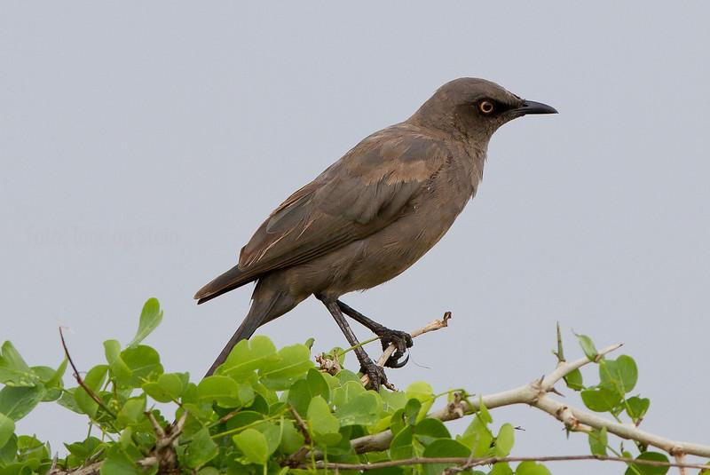 Grey Starling, Tarangire NP, Tanzania