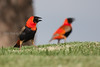 Euplectes orix (Southern red bishop, Red bishop), Johannesburg, SA