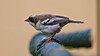 Whitebrowed_sparrowweaver-20111121-_MG_8754