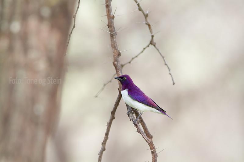 Plum-coloured Starling, lake chala, tanzania