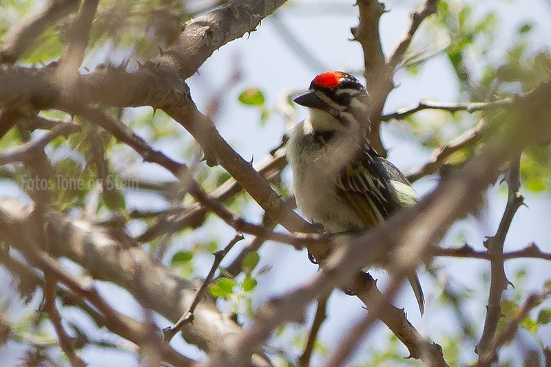 Red-fronted Tinkerbird, Lake Chala, Tanzania