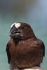 Amblyospiza albifrons (Thick-billed weaver) Johannesburg SA