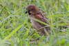 Rufous sparrow; kenya; nairobi; passer rufocinctus
