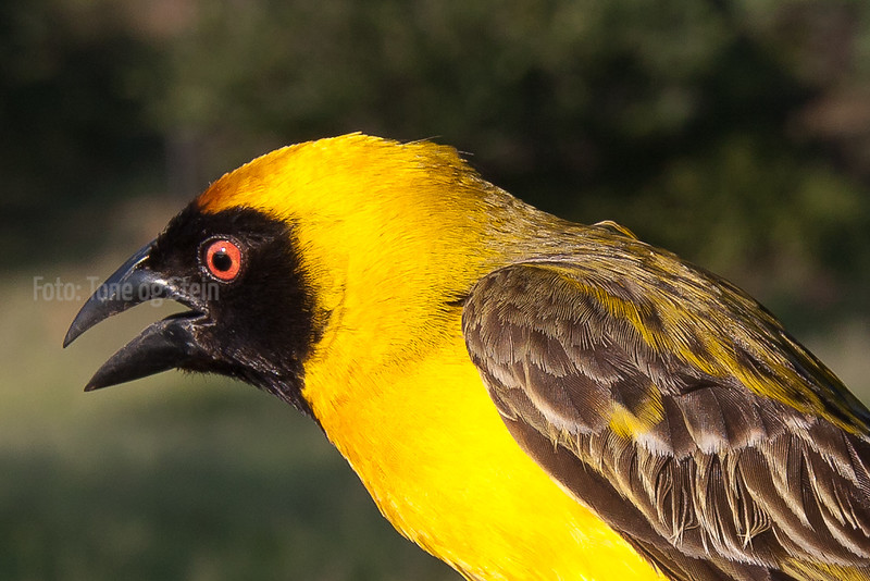 Ploceus velatus (Southern masked-weaver)  Johannesburg SA