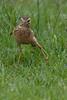 African pipit, JoBurg, SA 7588