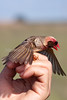 Red-billed Quelea Q. quelea Johannesburg SA