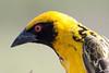 Village Weaver Ploceus cucullatus Johannesburg SA