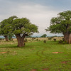 Baobab (Adansonia digitata) TARANGIRE NP, Tanzania, Africa
