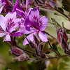 South Africa, afrika, blomst, cape town, good hope, plante,