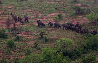 Tarangire NP, Flock of elephants viewed from baloon safari November 2011.