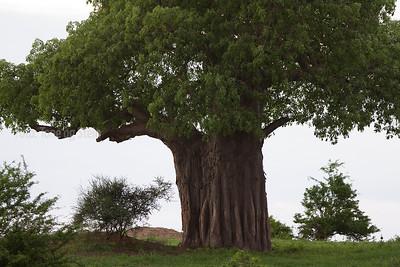 Tarangire NP, Baobab trees
