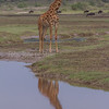 SJIRAFF, GIRAFFE, NDUTU SAFARI LODGE, TANZANIA