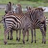 SEBRA, NDUTU SAFARI LODGE, TANZANIA