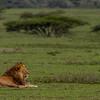 LØVE, LION, SIMBA, NDUTU SAFARI LODGE, TANZANIA