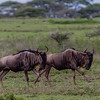 GNU, WILDEBEEST, NDUTU SAFARI LODGE, TANZANIA