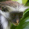 Zanzibar red Colobus, Jozani forest