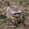 ØREHUND, BAT-EARED FOX, Otocyon megalotis, NDUTU, TANZANIA