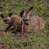 ØREHUND, VALP, BAT-EARED FOX, Otocyon megalotis, NDUTU, TANZANIA