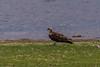 Osprey, Nyumba ya Mungu, Moshi, TANZANIA