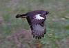 Long-crested Eagle, Lake nakuru, Kenya
