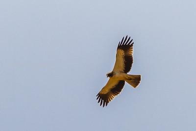 Booted Eagle, Tanzania